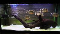 Alexander Kondrashov Все видео Пираньи едят лягушек! Слабонервным не смотреть!