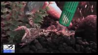 Пираньи убивают и едят лягушку.
