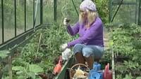 Ухаживаем за рассадой помидоров и сажаем тую