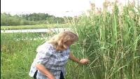 Российский гербарий Сезон 1 Одолень-трава